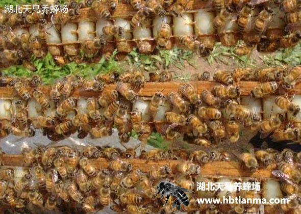 蜂王浆-养蜂场自产自销产品-图片展示厅-湖北天马养蜂场