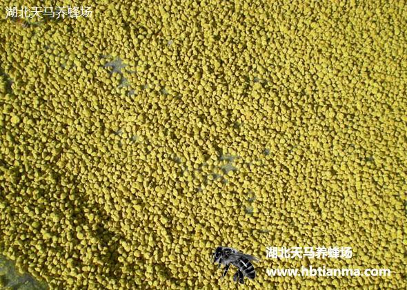 油菜花粉-养蜂场自产自销产品-图片展示厅-湖北天马养蜂场