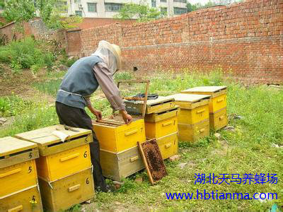 卫生防疫、科学管理使蜂群远离疾病