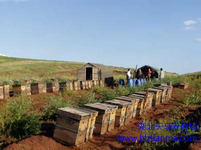澳开发蜂群感应技术有助于提高蜜蜂授粉率和生产力
