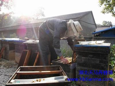 枣庄滕州三万多蜜蜂空降居民区 老蜂农擒拿蜂先擒王