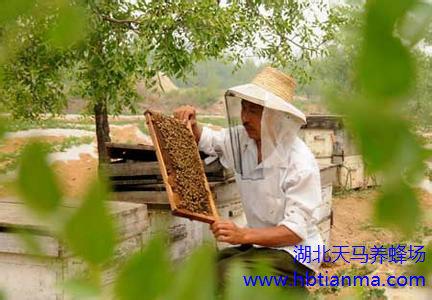 蜜蜂为什么会偏巢?