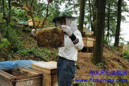 蜂花粉可治疗哪些疾病