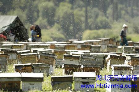 中蜂传染性幼虫病的防治