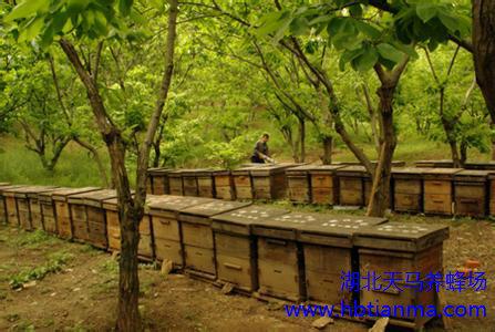 蜂群越冬饲料是蜂蜜