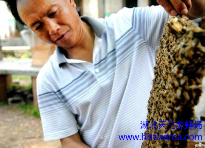 蜜蜂巢脾治疗鼻炎,蜜巢治疗鼻炎