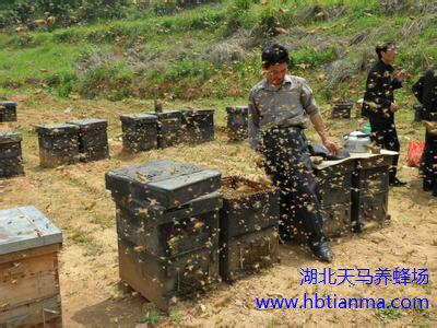 设施西瓜应用蜜蜂无王群授粉综合技术