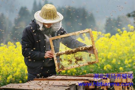 鬼子在仿火星重力环境放飞蜜蜂 为火星蔬菜授粉