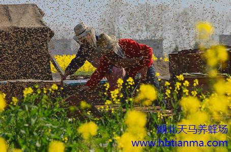 怎样生产蜂蜡?