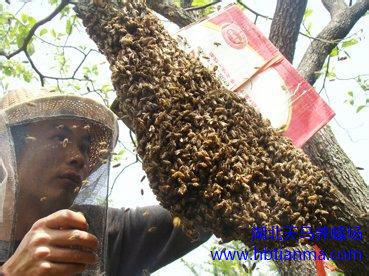 蜂毒可破坏HIV病毒