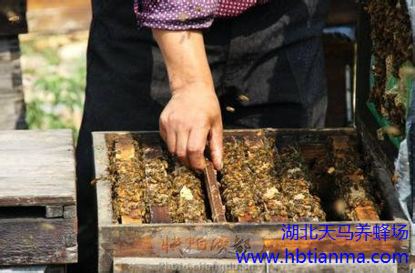 蜜蜂分蜂前兆有哪些