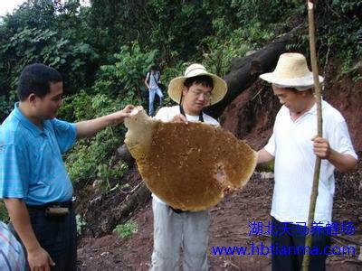 蜂胶知识、蜂胶作用及典型案例