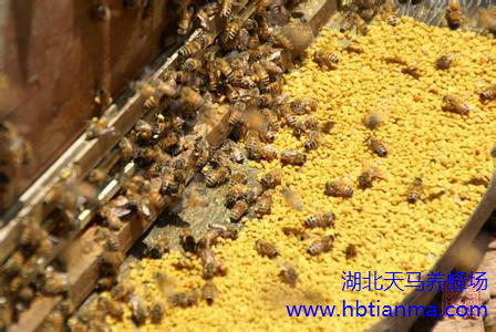 如何采收单一蜂蜜?