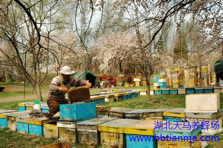 蜂针疗法和蜂毒注射液疗效有何异同?