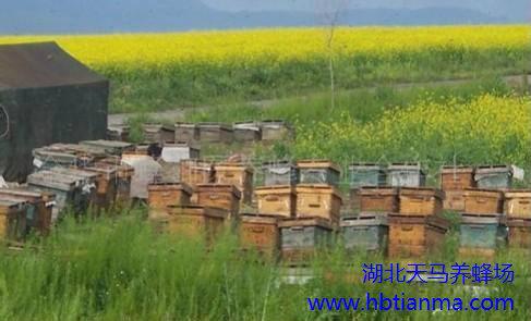 蜂毒抗衰老,蜂毒的作用,蜂毒抗衰老吗