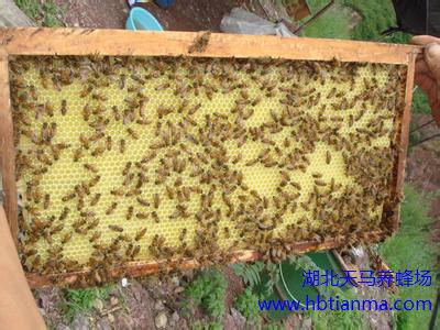 春季蜂巢的整顿和防螨消毒