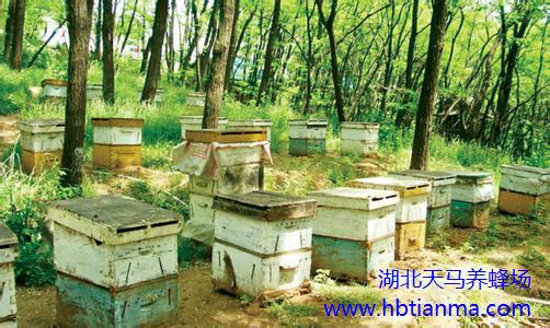 蜜蜂孢子虫病的诊断和防治