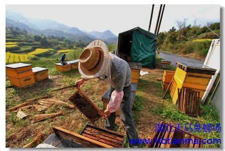陕西榆林地区密林熊蜂的生物学观察