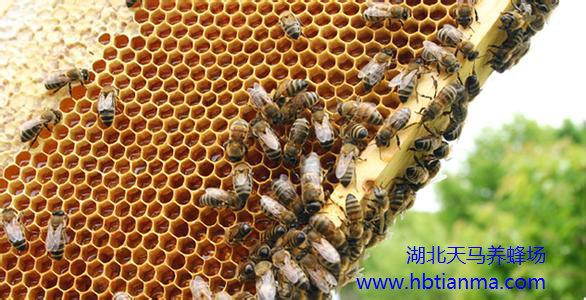 蜂胶与蜜蜂,蜂胶对蜂巢的作用