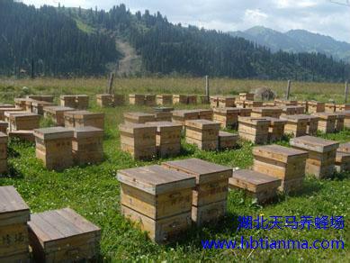 夏养蜜蜂严防巢虫危害,蜜蜂巢虫防治