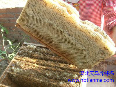 走进蜂世界之——蜜蜂的外形特征与蜂体结构