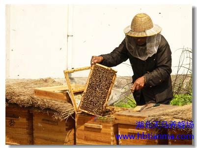 蜜蜂慢性麻痹病的症状和防治方法
