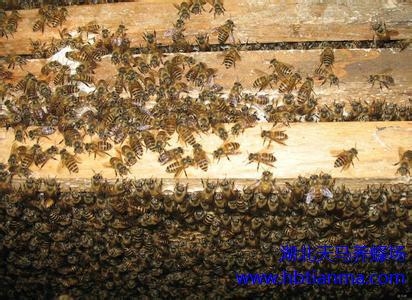 蜜蜂授粉效果评价的研究(文摘)