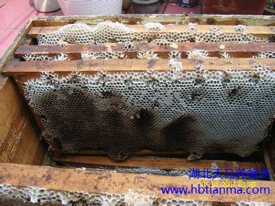 幽闭期蜂群伤热的因素及预防