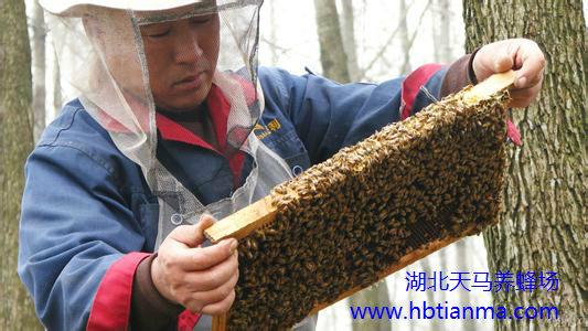 基因研究表明:蜜蜂有遗传导向系统