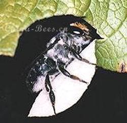 切叶蜂(MegachileLatreille)的生物学