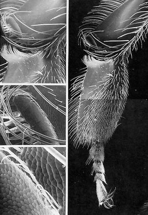 工蜂的形态显微图(下)