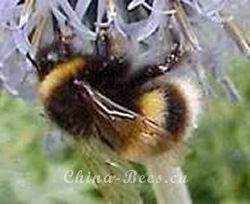 熊蜂(Bombusspp.)的生物学