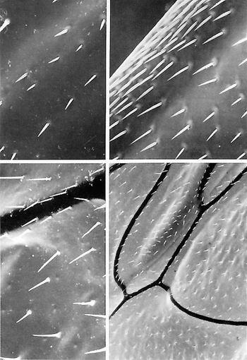 雄蜂的形态显微图(上)