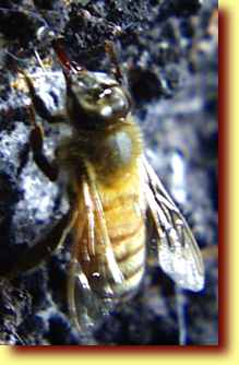Honeydew(蜂蜜汁)