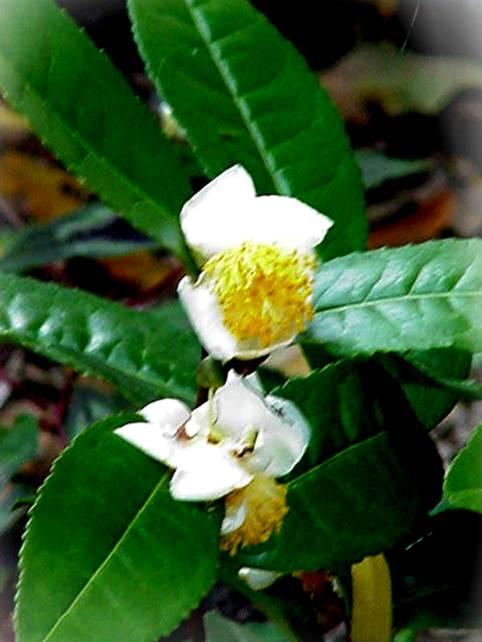 几种有毒蜜粉源植物