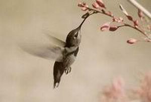 蜂鸟的简单介绍