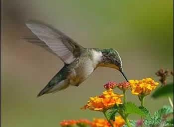 蜂鸟及其在养蜂业中的生态地位