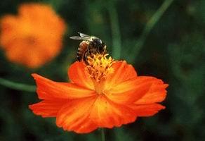 非洲化蜜蜂