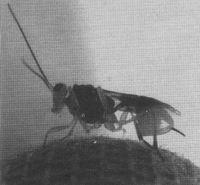 广东首次发现寄生于中蜂体内的寄生蜂――斯赞蜜蜂茧蜂