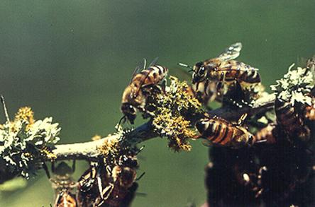 几种特殊西方蜜蜂