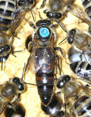 喀尔巴阡蜂
