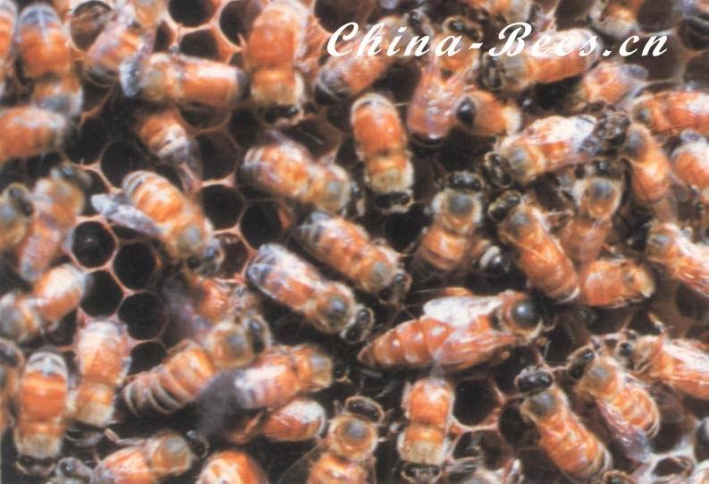 中国蜜蜂科学研究