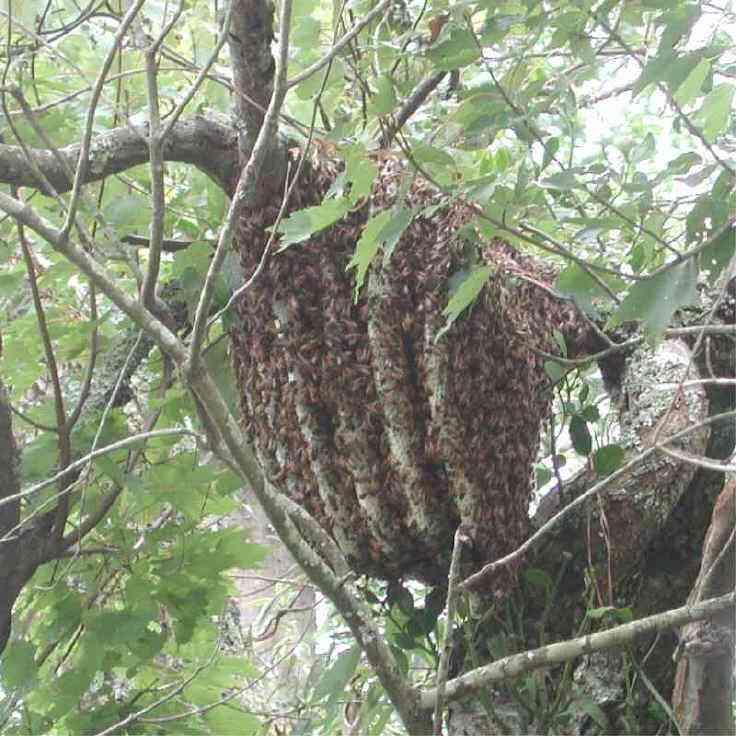 蜜蜂的分类地位