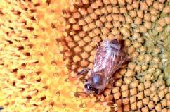 中国蜜蜂授粉