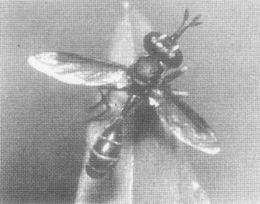 马来西亚发现一种蜜蜂寄生螨