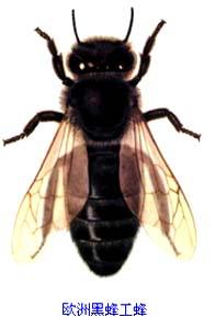 欧洲黑蜂具有哪些特点