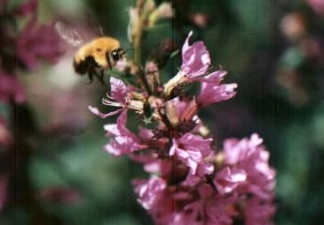 一些关于熊蜂的图片
