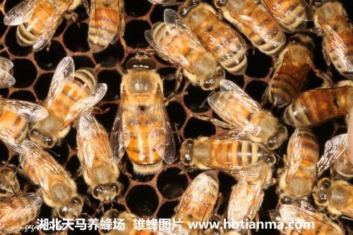 蜂群中的雄蜂有什么用?雄蜂是干什么的