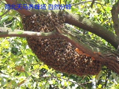 自然分蜂的全过程是怎样的